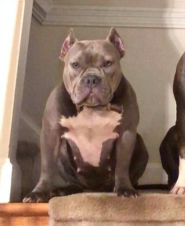 Alpha Blue Pits, pitbull puppy