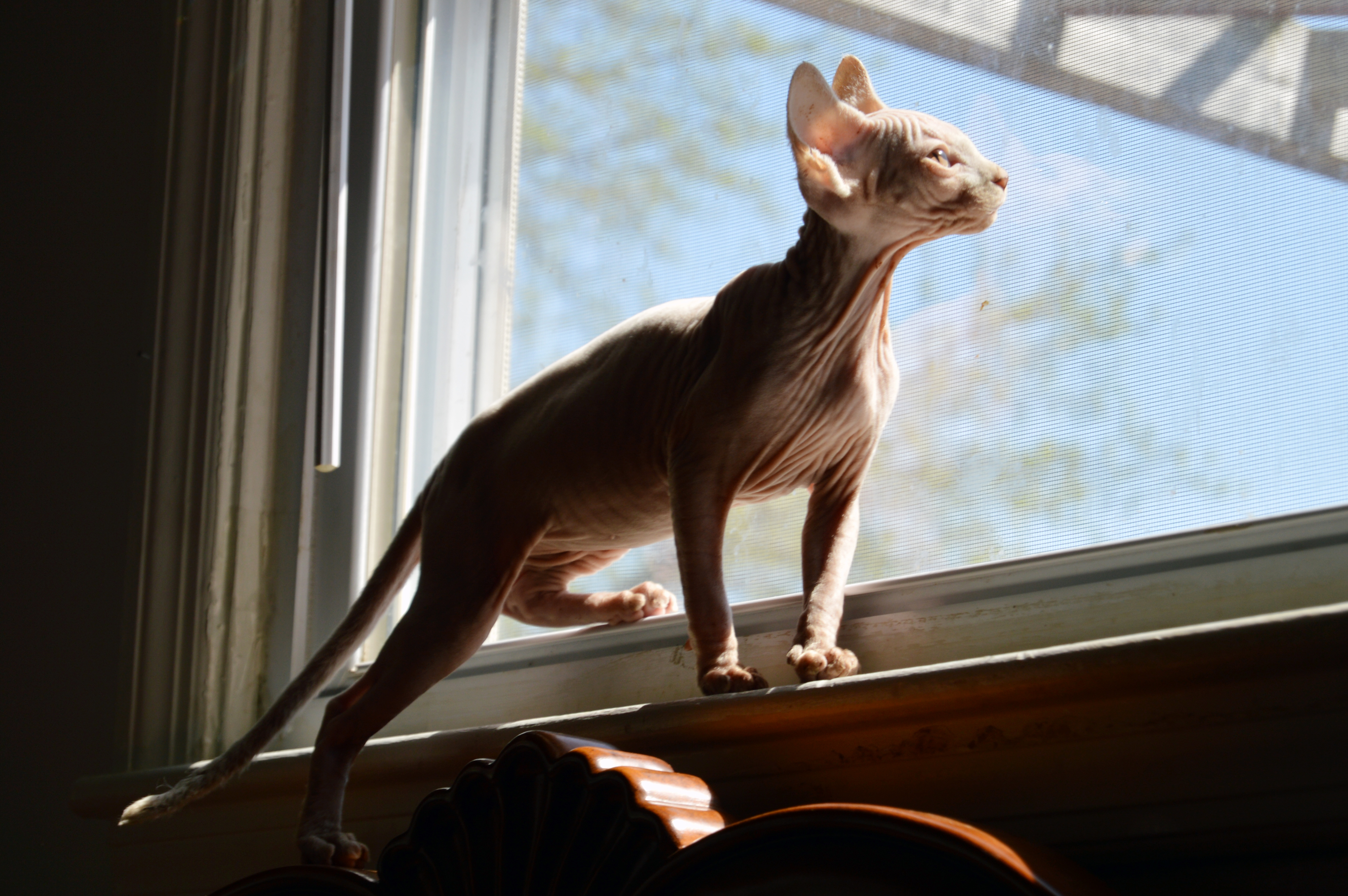 Benicio, White Flame Point Sphynx