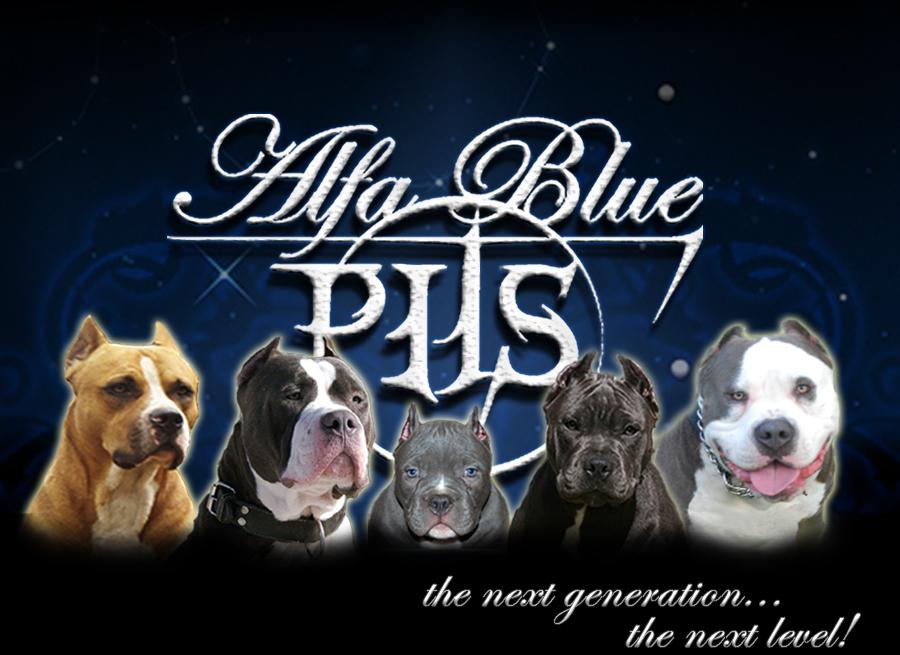 Blueline Pitbull For Sale | Alpha Blue Pits