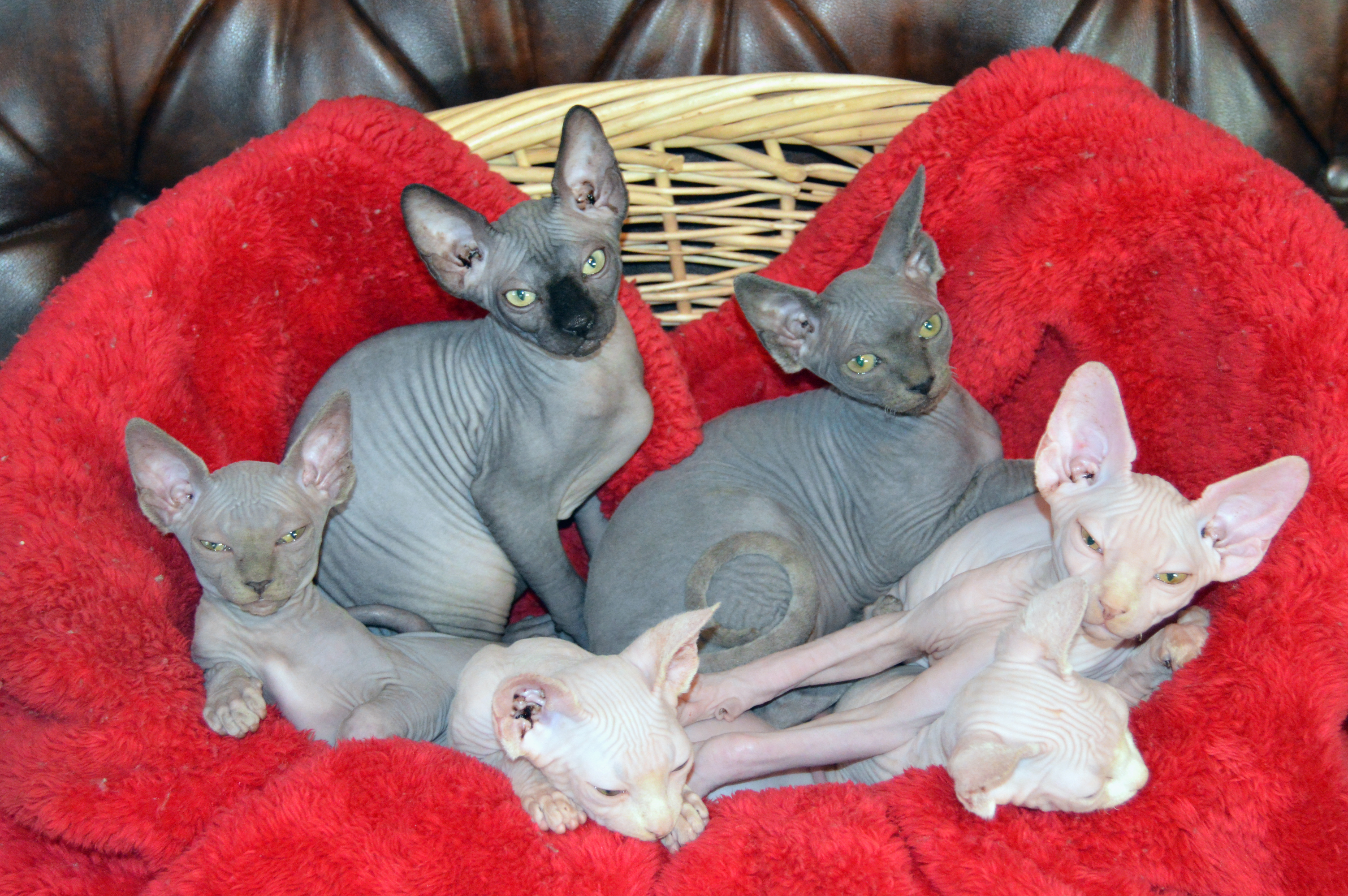 Calavera Sphynx Happy Family