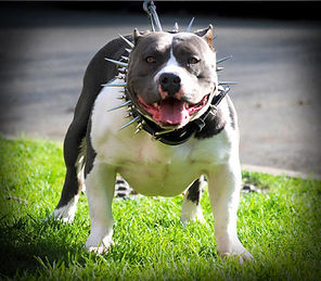 Blueline pitbull female Benita, Alphabluepits