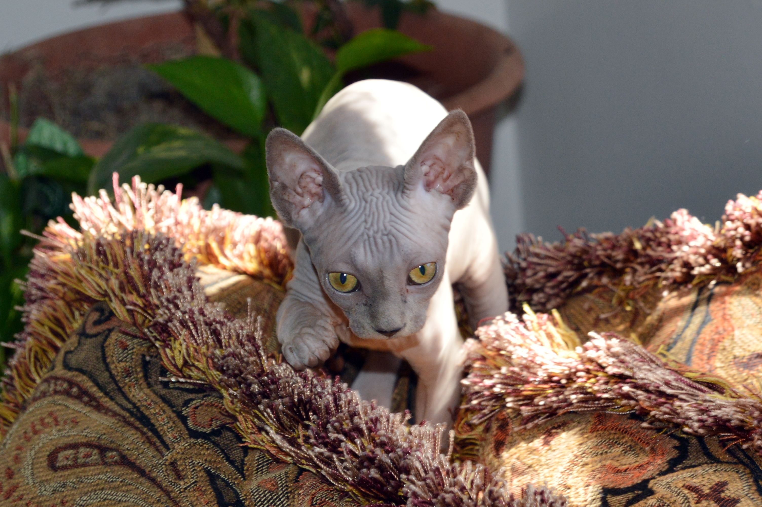 Calavera Sphynx Male Kitten