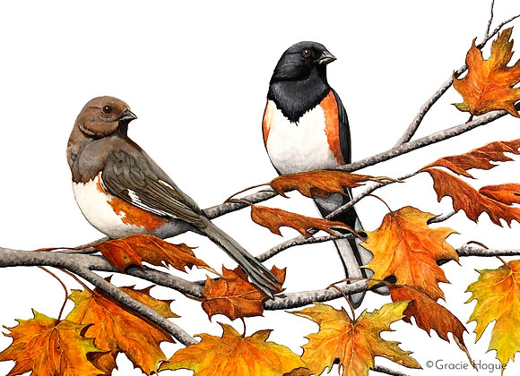 Eastern Towhees in Autumn Maple