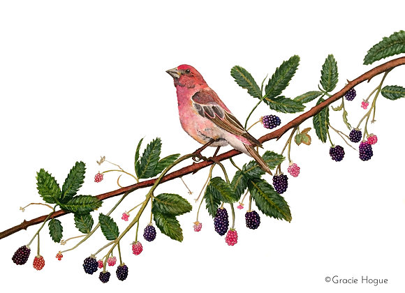 Purple Finch on a Blackberry Vine