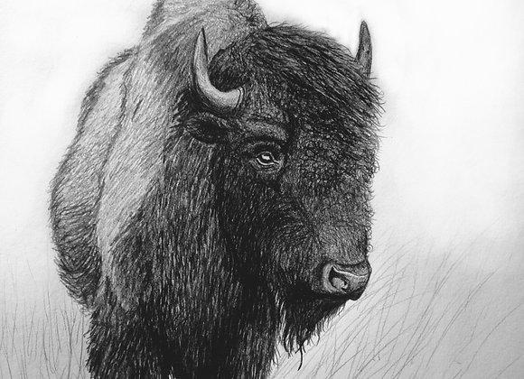 Bison Bull (Pencil)