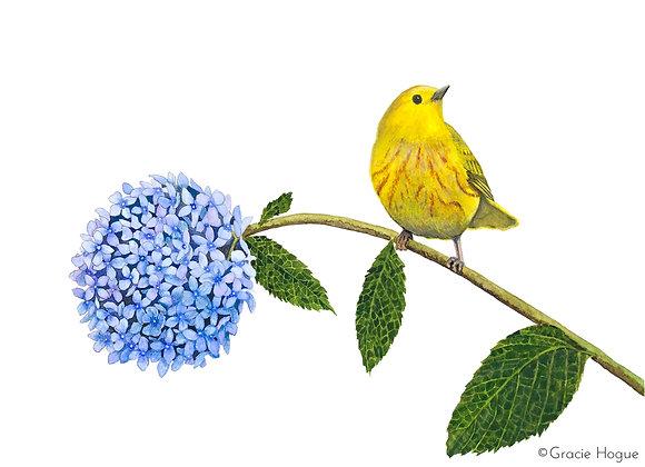 Yellow Warbler on Hydrangea