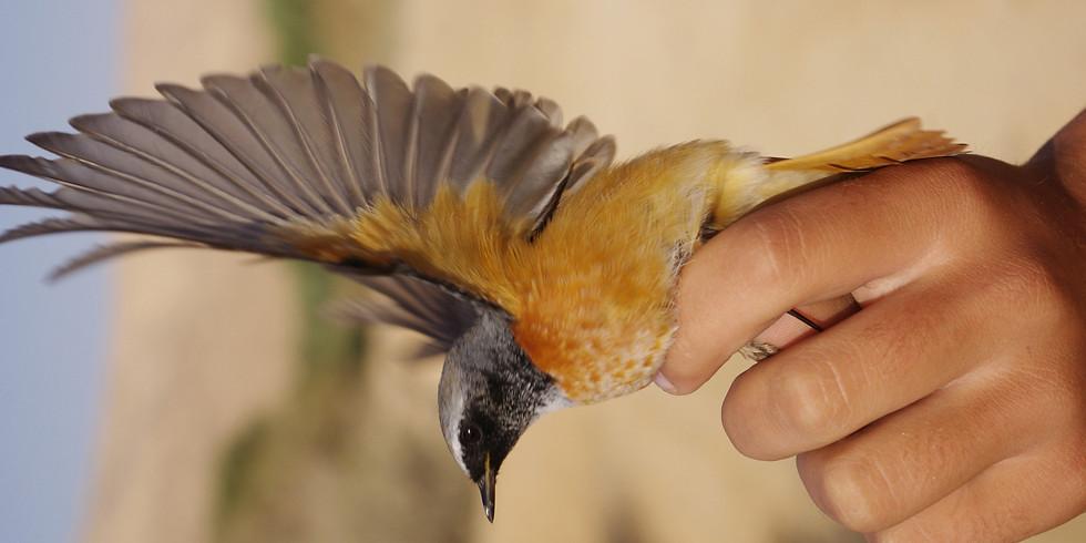 דוכיפת – צפרות ואקולוגיה / טיבוע ציפורים