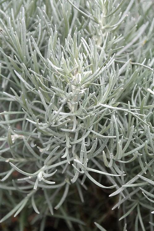 Helichrysum Tincture