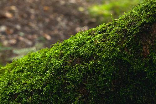 Oak Moss Oil