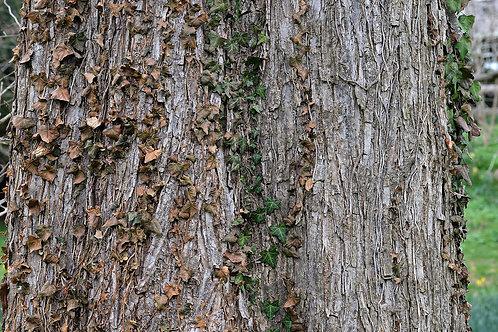 Slipper Elm Bark Extract