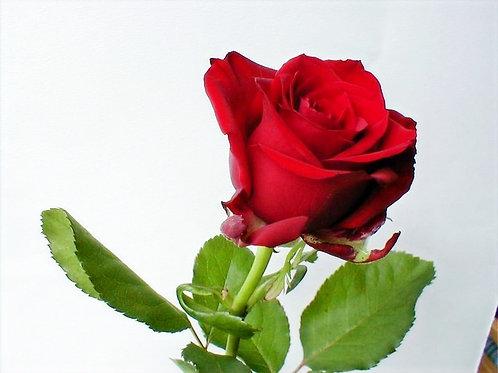Rose Oil (Light Scented)
