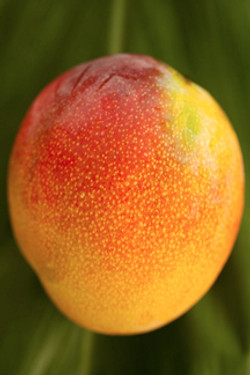 Mangoes: Red, Green, and Gold