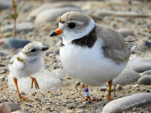 Sharing the shorelines, protecting piping plovers at Sleeping Bear