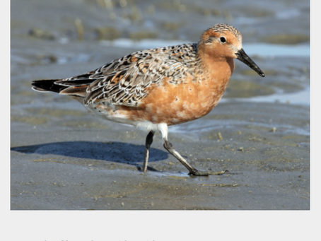 The rufa red knot and horseshoe crabs, an ancient relationship