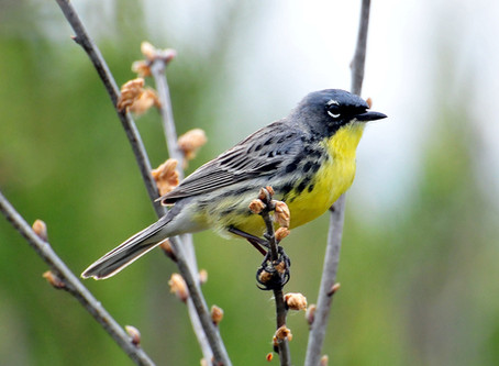 Fifty years later, how people, partnerships, and the ESA gave Kirtland's warbler a second chance