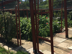 ANGUS'S ALLOTMENT - INTRODUCTION