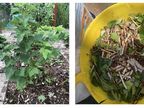 ANGUS'S ALLOTMENT - AUGUST