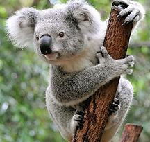 Koala_edited.jpg