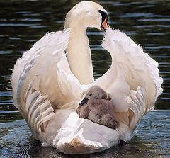 swan-4208564-1920_1.jpg