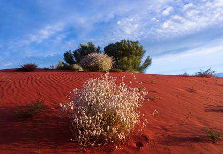 Sandhill in bloom