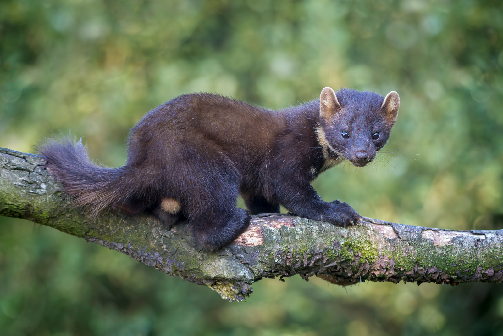 'Pine Martin' by Darren Brown (10 marks)  -  Central Photographic Association