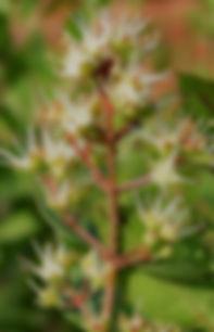 Flowering Henna Plant