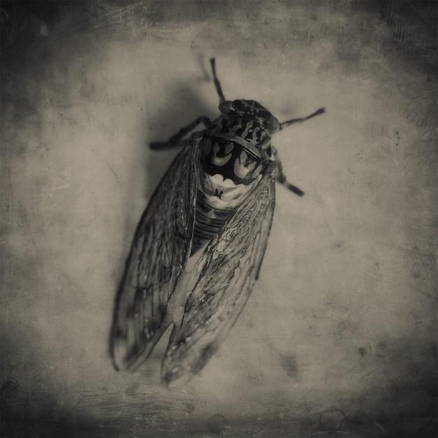 JoseSnook_Imposters_cicada.jpg