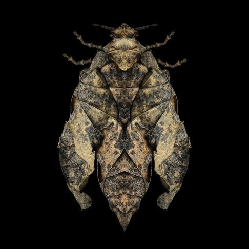 Dark_oak_ bug_Snook.jpg