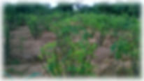 MORINGA.jpg photofiltre.jpg