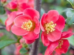 chaenomeles x superba pink lady