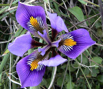 Iris Unguicularis, purple flower