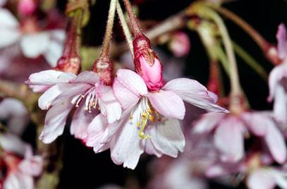 Prunus x Subhirtella 'Autumnalis Rosea', pink flower