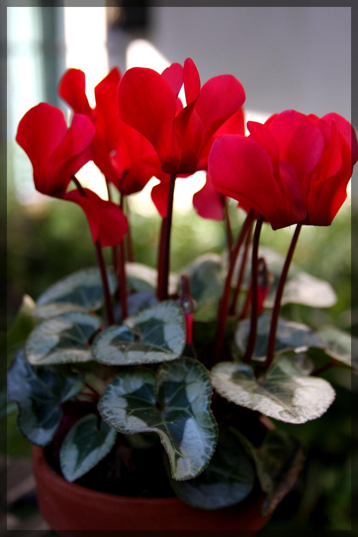 Cyclamen, red flower