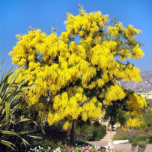 Acacia Dealbata, yellow tree