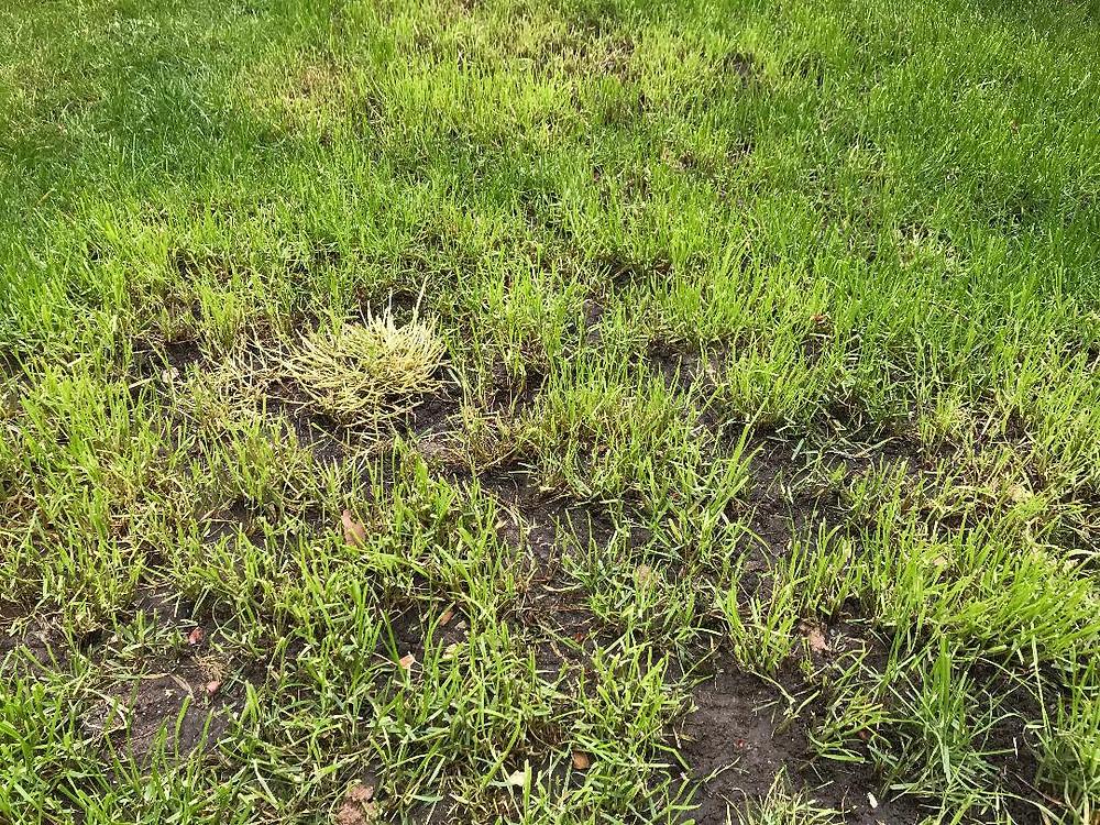 Poor grass, waterlogged lawn