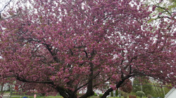 Tree in bloom outside of the house