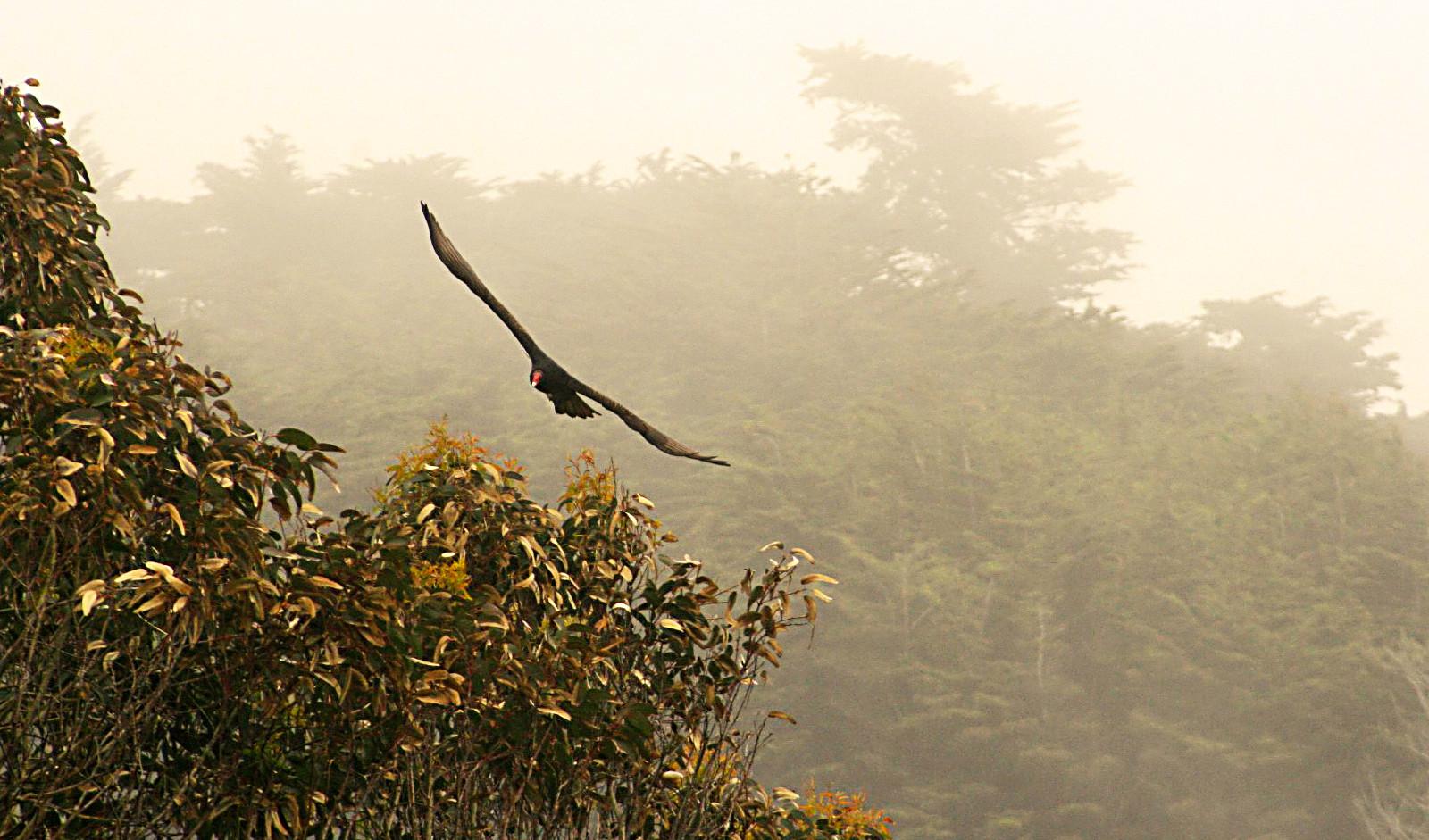 vautour californie.jpg