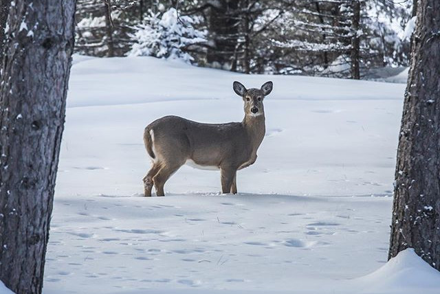 #deer #cottage #winter #snow #wildlife