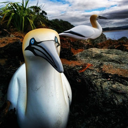 Attracting gannets to Tawharanui! #Meganinthefield
