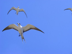 Sooty Terns filling the sky on Petite Canouan