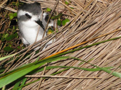 What a cutey!- White-faced storm petrel
