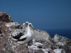 Masked booby parent and baby