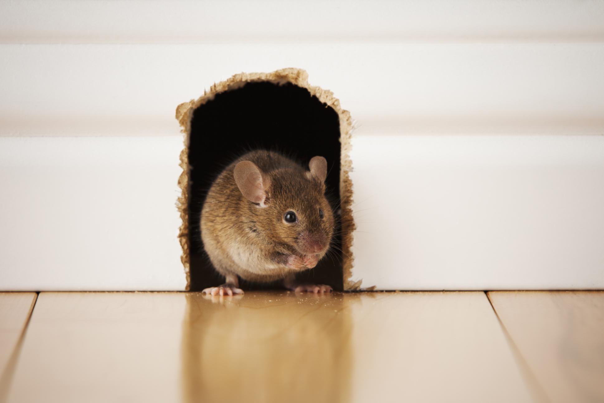 house rat