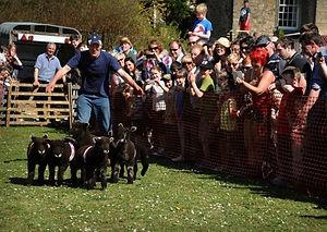 sheep racing - blk gazette.jpg