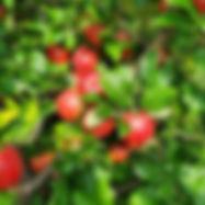 Apples - Indian Hills_edited.jpg