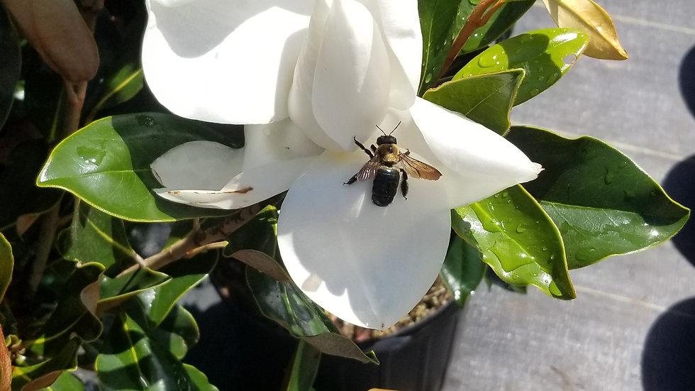 Little Gem Magnolia 7G