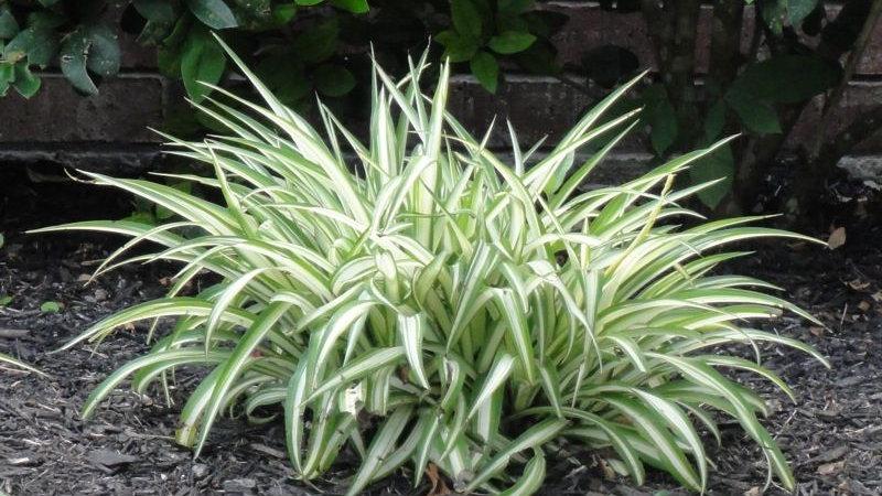Aztec grass 1 Gallon