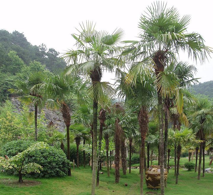 1200px-TrachycarpusFortunei.jpg
