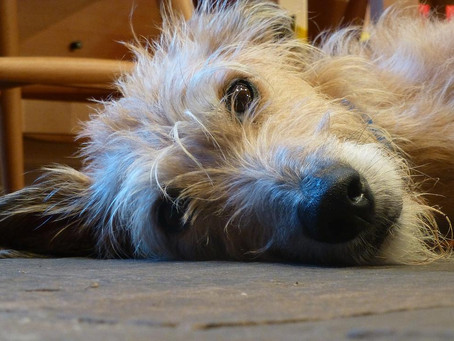 Overdoing it lately? Chances are your dog has been too