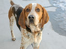 american-english-coonhound-1.jpg